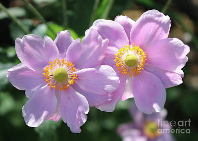 Two Pink Anemone Flowers Art Print