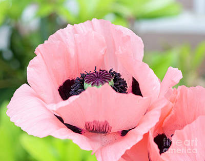 Photograph - Two Pink Poppies by Maria Janicki
