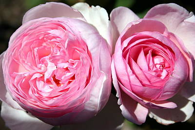 Photograph - Two Pink Roses by Laurel Talabere
