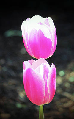 Photograph - Two Pink Tulips by Cynthia Guinn