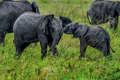 Photograph - Two Playful Elephants by Marilyn Burton