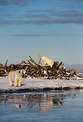 Two Polar Bears At The Whale Bone Pile On Barter Island With Ref Art Print