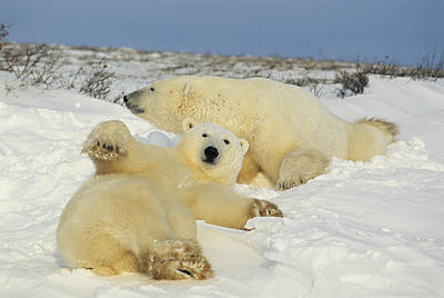 And Threatened Animals Photograph - Two Polar Bears Lounging by Norbert Rosing