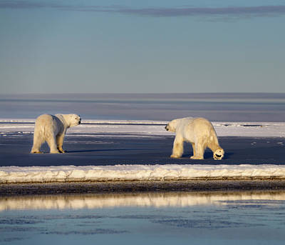 Bear Photograph - Two Polar Bears One Showing Foot Pad On Ice At Barter Island Kak by Reimar Gaertner