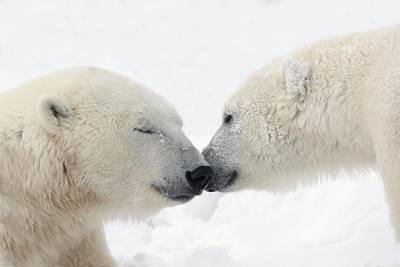 The Kiss Photograph - Two Polar Bears Ursus Maritimus by Richard Wear