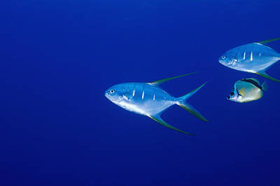 Three Fish Photograph - Two Pompano Fish And A Cleaner Fish by James Forte