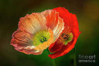 Photograph - Two Poppies by Heiko Koehrer-Wagner