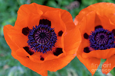 Photograph - Two Poppies by John  Mitchell