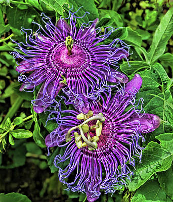 Photograph - Two Purple Passion Flowers by HH Photography of Florida