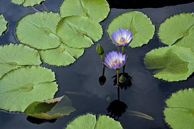 Photograph - Two Purple Waterlilies by Tana Reiff