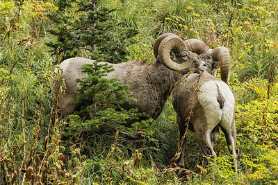 Photograph - Two Rams by Belinda Greb