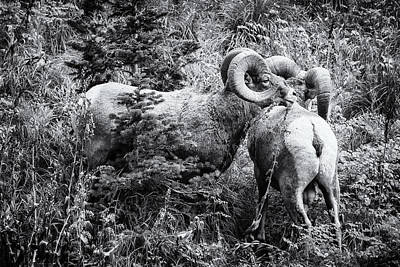 Photograph - Two Rams Bw by Belinda Greb