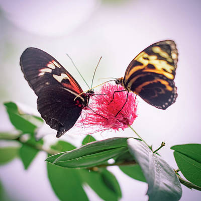 Photograph - Two Red And Yellow Butterflies On Flower In Abstract Background by Open Range