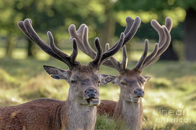 Photograph - Two Red Deer Stags - Cervus Elaphus - Growing Velvet Antlers In Re by Paul Farnfield