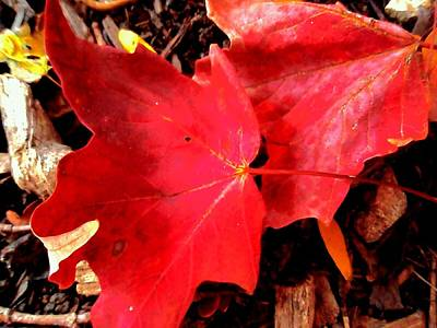 Photograph - Two Red Leaves by Beth Akerman