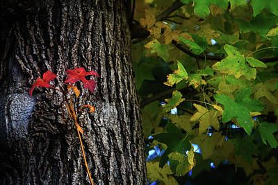 Photograph - Two Red Leaves by Toni Hopper