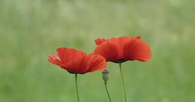 Photograph - Two Red Poppies And Pod by Barbara St Jean