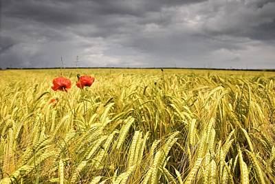 Farm Scenes Photograph - Two Red Poppies In Wheat Field by John Short