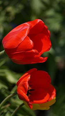 Photograph - Two Red Tulips by Tracey Vivar