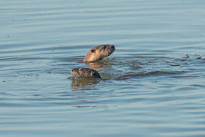 Photograph - Two River Otters by Loree Johnson