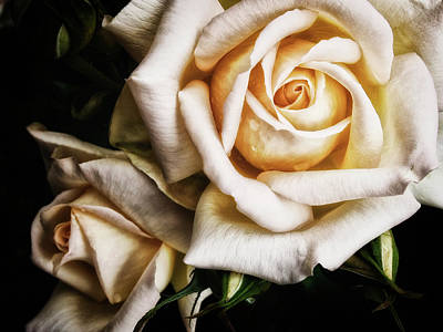 Yellow Rosebud Photograph - Two Roses - Pale by Philip Openshaw