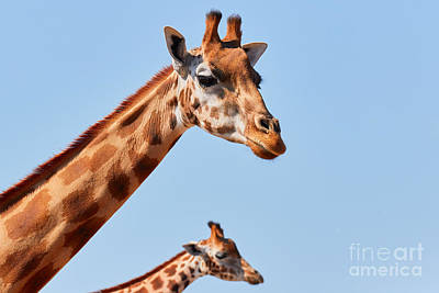Photograph - Two Rothschild's Giraffes II by Nick  Biemans