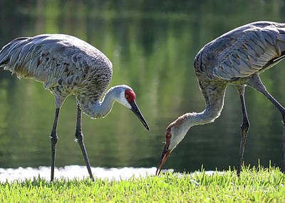 Photograph - Two Sandhills By The Water by Carol Groenen