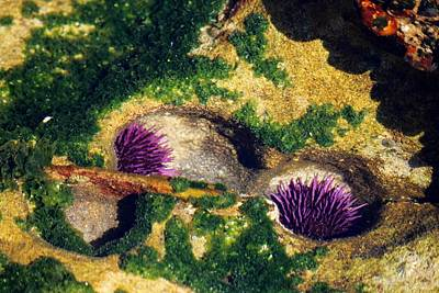 Photograph - Two Sea Urchins  by Christy Pooschke