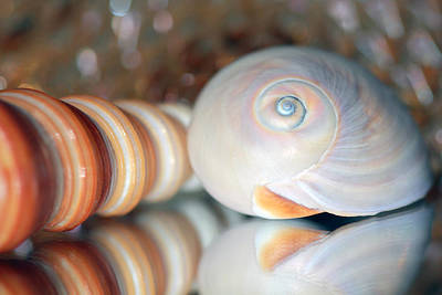 Photograph - Two Seashells by Angela Murdock