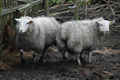 Photograph - Two Sheep In Donegal by Dawn Richerson