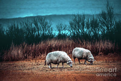Photograph - Two Sheeps Grazing On The Field by Anna Om
