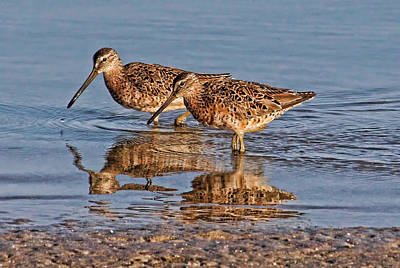 Photograph - Two Short-billed Dowitchers by HH Photography of Florida