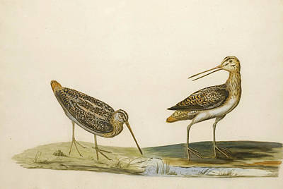 Drawing - Two Snipe by Peter Paillou