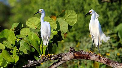 Photograph - Two Snowy Egrets Hanging Out On A Sea Grape Branch by Carol Montoya