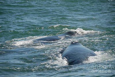 Two Southern Right Whale Breaching Art Print by Sami Sarkis