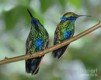 Photograph - Two Sparkling Violetear Hummingbirds by Olga Hamilton