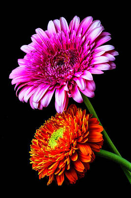 Photograph - Two Special Gerbera Daisies by Garry Gay