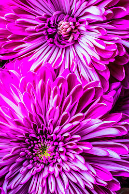 Two Spider Mums Art Print by Garry Gay