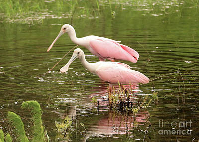 Photograph - Two Spoonbills In Pond by Carol Groenen