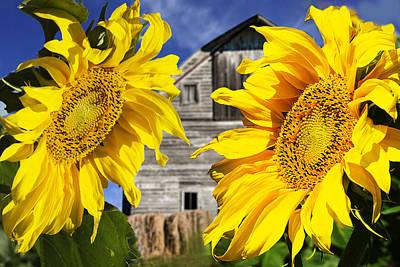 Two Sunflowers Art Print by Donald  Erickson