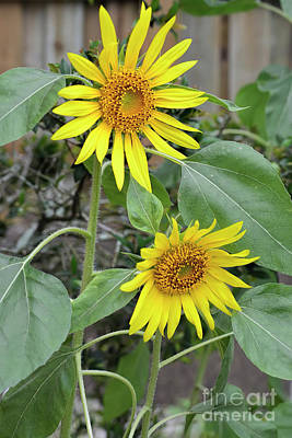 Photograph - Two Sunflowers by Olga Hamilton