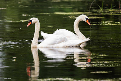 Photograph - Two Swans A Swimming by Fran Gallogly