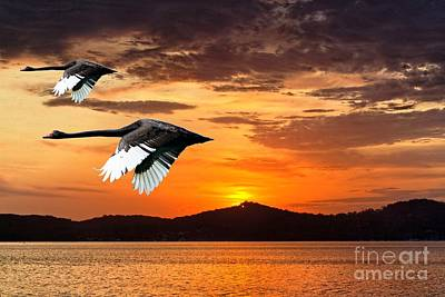 Royalty Free Images Photograph - Two Swans In Full Flight At Dawn.   by Geoff Childs