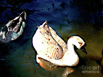 Photograph - Two Swimming Ducks by Merton Allen