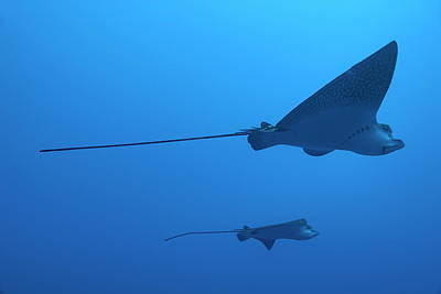 Spotted Eagle Ray Photograph - Two Swimming Spotted Eagle Rays Underwater by Sami Sarkis