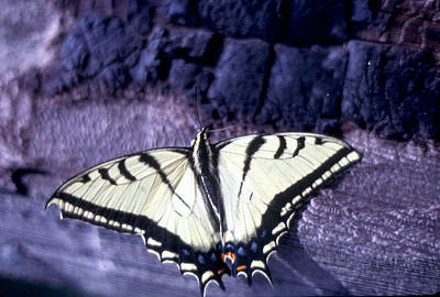 Two Tail Swallowtail Art Print by Chris Gudger