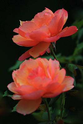 Photograph - Two Tangerine Roses by Renee Marie Martinez