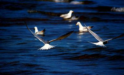 Photograph - Two Terns A Fly by Amanda Struz