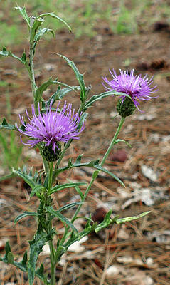 Photograph - Two Thistles by Laurel Powell