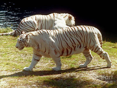 Photograph - Two - Tigers by D Hackett